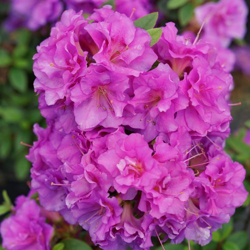 RHODODENDRON PERFECTO MUNDO DOUBLE PURPLE REBLOOMING AZALEA